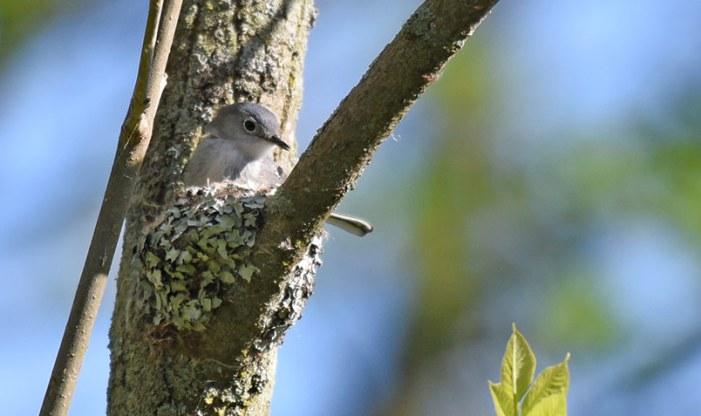 Blue-gray Gnatcatcher on a nest at Schlitz Audubon during breeding season.