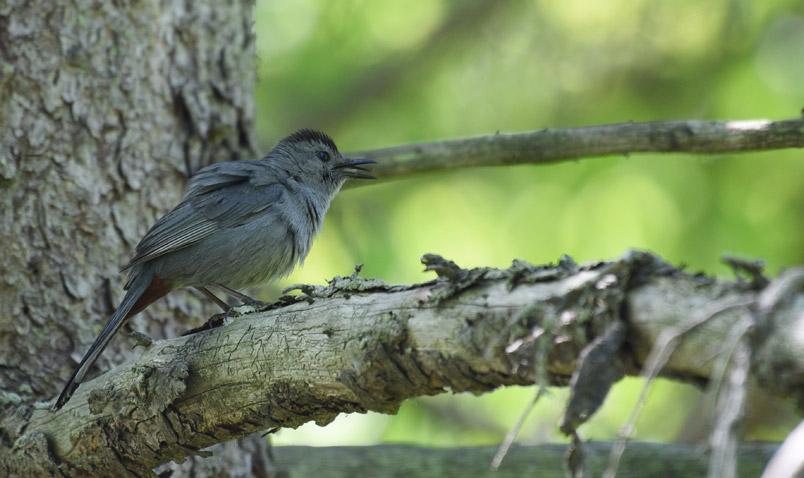 Gray Catbird Schlitz Audubon