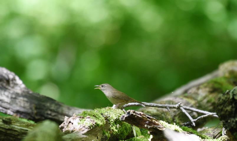 House Wren singing Schlitz Audubon