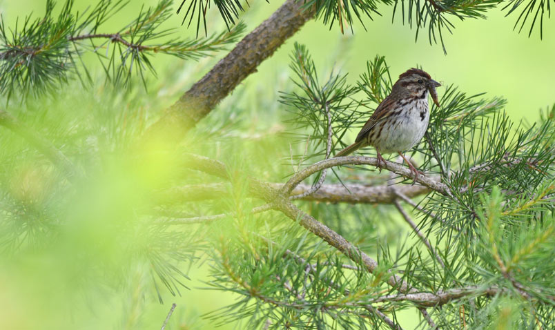 Song Sparrow on the summer solstice