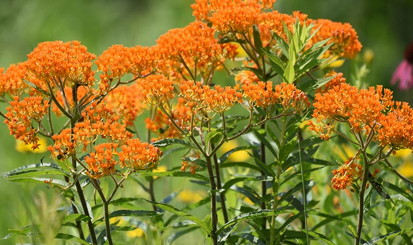 monarch caterpillar, butterfly weed
