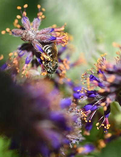Lead Plant Amorpha canescens