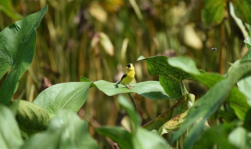 American Goldfinch at Teal Pond. Summer at Schlitz Audubon