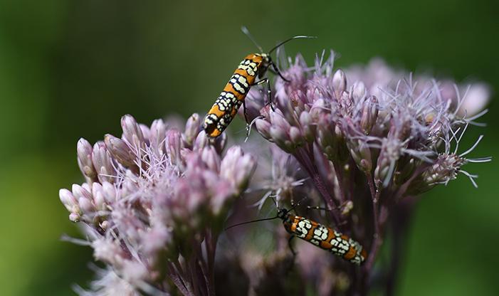 Ermine moths on Swamp Milkweed.
