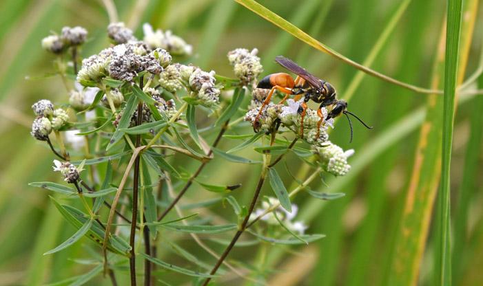 Great Golden Digger Wasp, Sphex ichneumoneus.