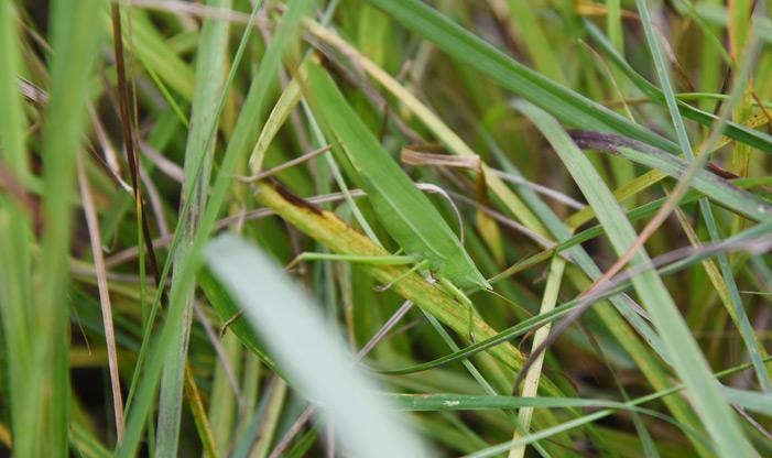 Katydid, Microcentrum rhombifolium.