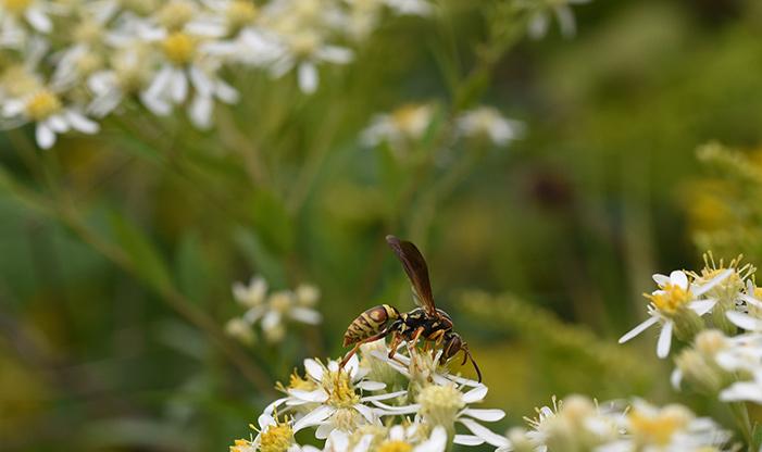Paper Wasp, Polistes fuscatus.