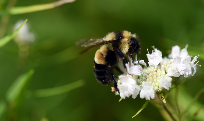 Rusty Patched Bumble Bee, Bombus affinis, is a federally endangered species.