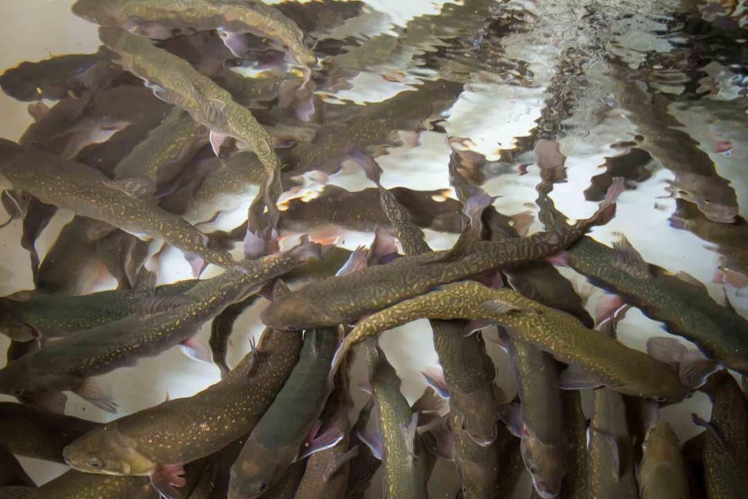 Lebende Fische
