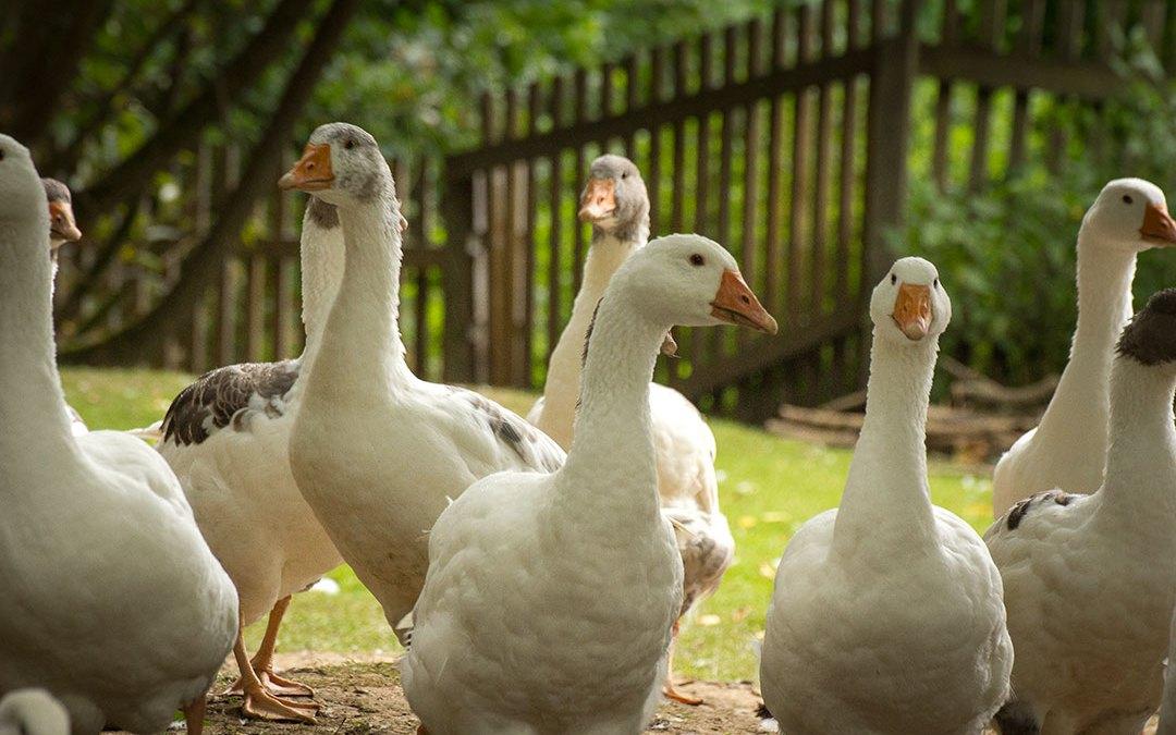 Enten und Gänse bis zum 16. Dezember bestellbar!