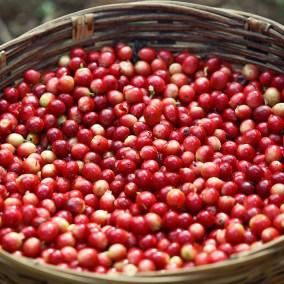 Kaffeebohnen vor der Ernte