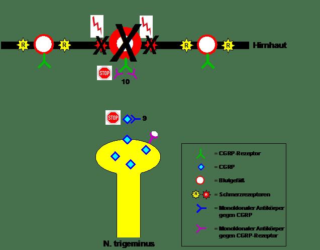 Angriffspunkt der monoklonalen Antikörper zur Migräneprophylaxe