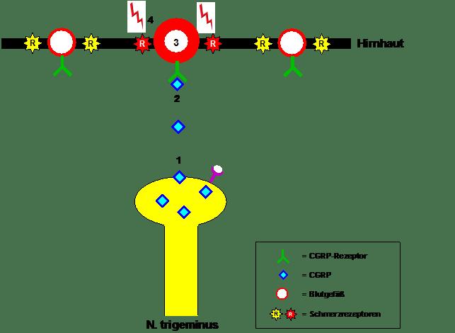 Migräneschmerzvermittlung durch CGRP