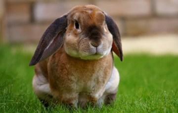 Kaninchenbraten – so mache ich ihn nicht