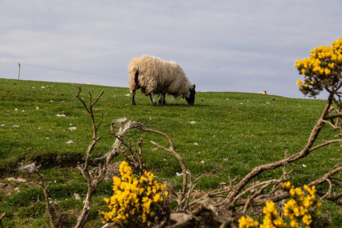 Schafe bei Waterfood