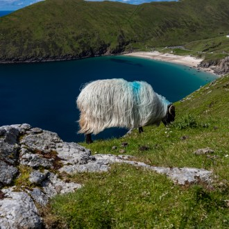 Schaf über der Keen Bay