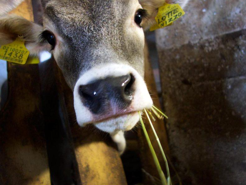 Unichhof - Kuh Lotte
