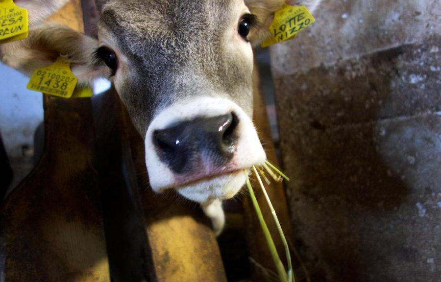Unichhof | Kuh Lotte