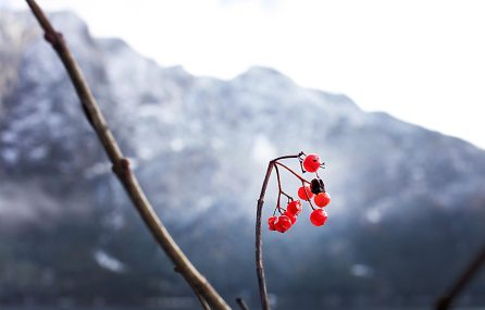 Altaussee Beeren Winter