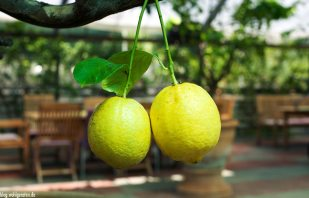 Bio-Zitronen im Zitrusgarten – Faak am See