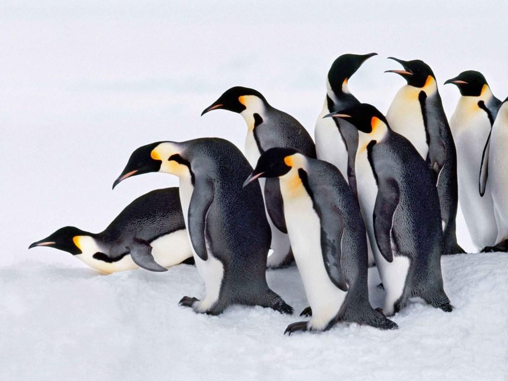 medium resolution of Meet the Penguins!   Scholastic