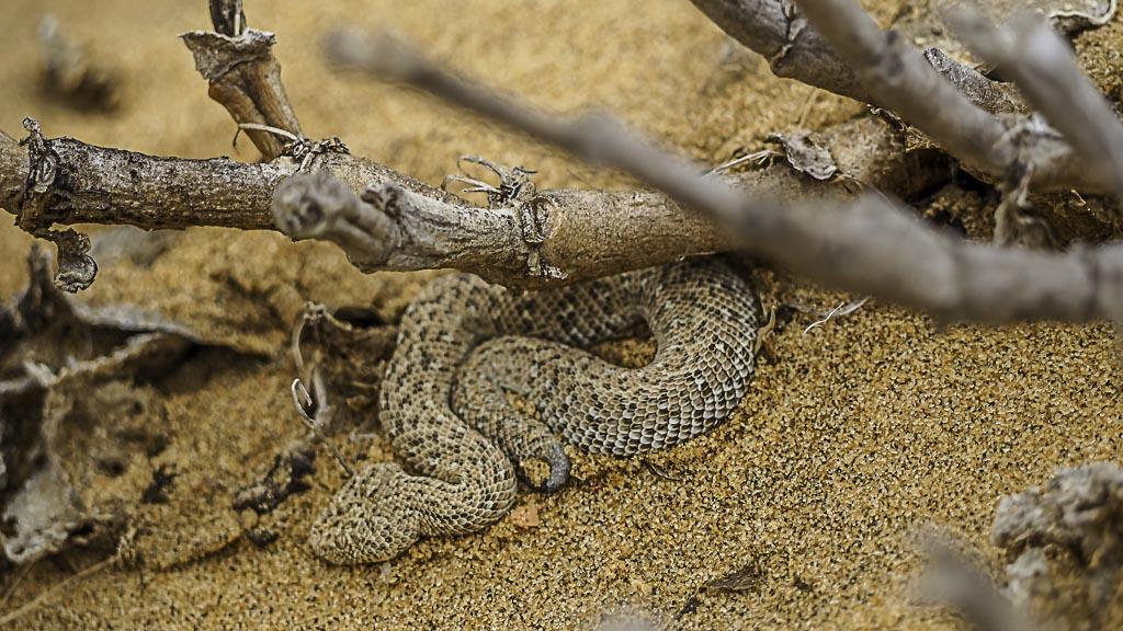 Schlange in der Wüste bei Swakopmund