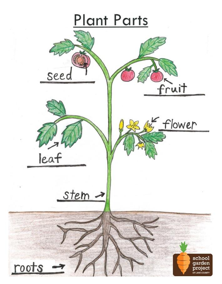 Plant Parts Diagram