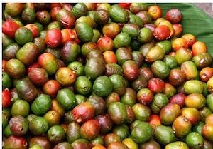 costa rica fruit jacote