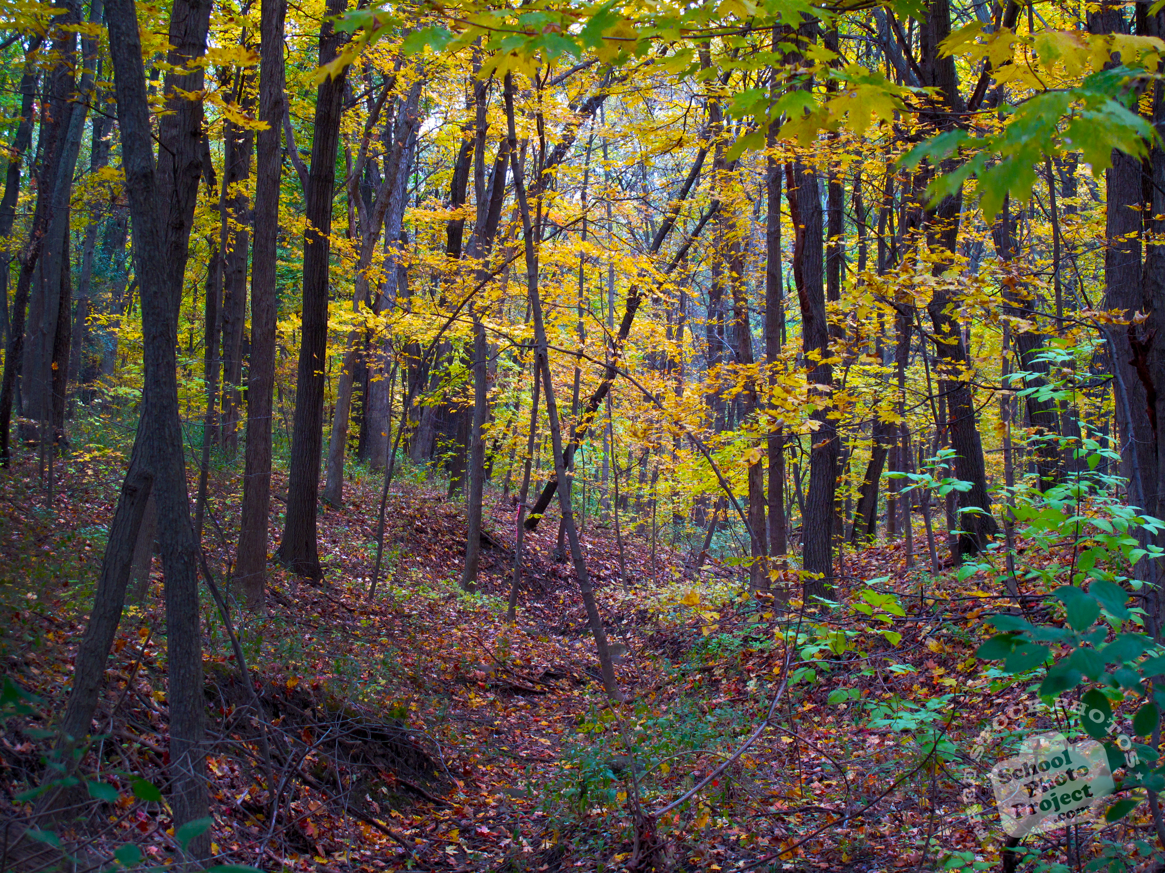 Birch Tree Fall Wallpaper Free Maple Trees Photo Fall Foliage Picture Maple Forest