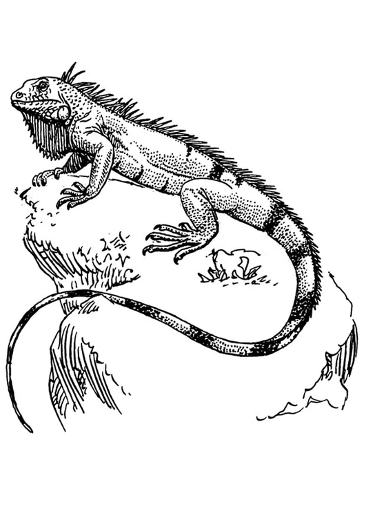 Kleurplaat iguana. Gratis kleurplaten om te printen.