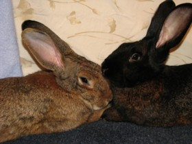 from rabbitnetwork.org, an adoption network for home rabbits in Massachusetts, New Hampshire, and Connecticut
