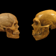 Comparison of Homo sapiens (L) and Homo neanderthalensis (R) skulls. By hairymuseummatt (original photo), DrMikeBaxter (derivative work) [CC-BY-SA-2.0 (http://creativecommons.org/licenses/by-sa/2.0)], via Wikimedia Commons