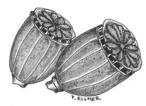 Mohnkapseln Zeichung: Petra Elsner