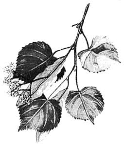 Lindenblätter Zeichnung: pe