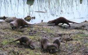 Bei den lustigen Ottern: Der Wildpark beherbergt ausschließlich Wildtierarten, die in der Schorfheide heimisch sind, wie beispielsweise Wolf, Fischotter, Rotwild, Damwild, Schwarzwild, Muffelwild und Tiere, die bei uns in freier Wildbahn bereits ausgestorben sind, wie Wisent, Elch und Przewalski-Pferd. Außerdem züchten wir seltene, vom Aussterben bedrohte Haustierrassen wie z. B. Englische Parkrinder, Rauhwolliges pommersches Landschaf, Exmoorpony`s und Wollschweine.