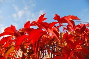 Herbstleuchten. Foto: pe