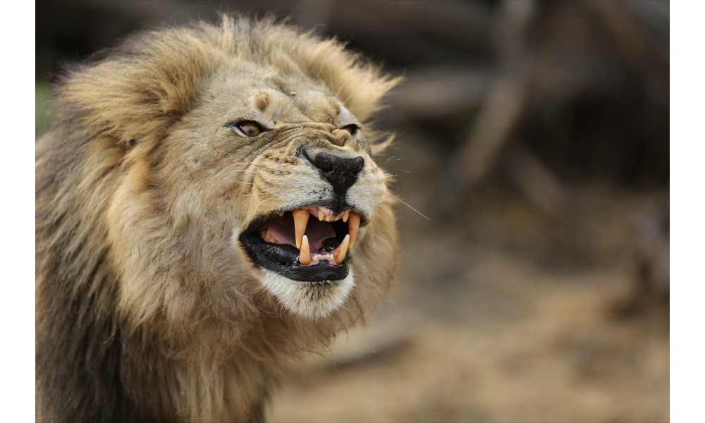 Image result for growling lion