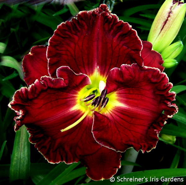 Blood Wine Red Daylilies