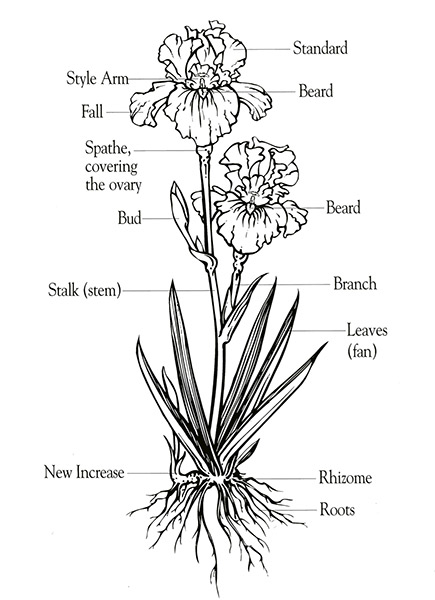 how do you a stem and leaf diagram kenwood kdc grow bearded iris | care