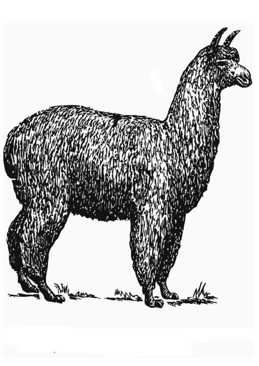 Malvorlage Alpaca - Kostenlose Ausmalbilder Zum Ausdrucken
