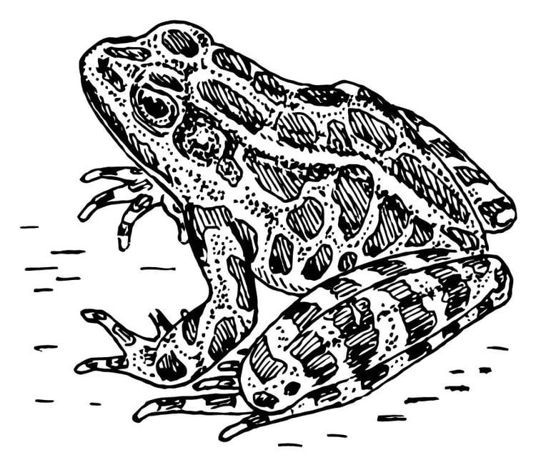 Malvorlage Frosch - Kostenlose Ausmalbilder Zum Ausdrucken