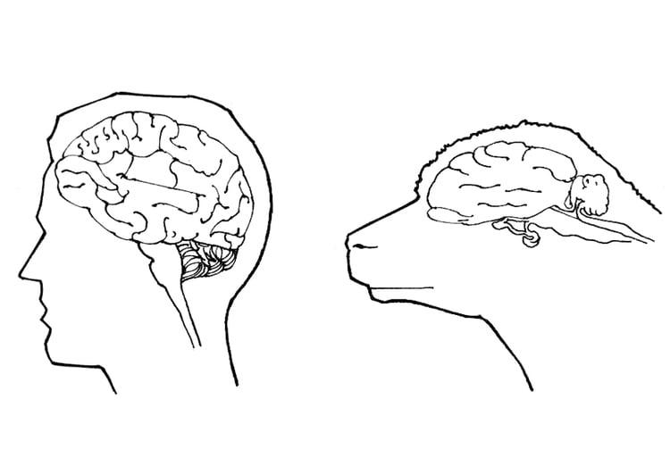 Malvorlage Gehirn von Mensch und Schaf - Kostenlose