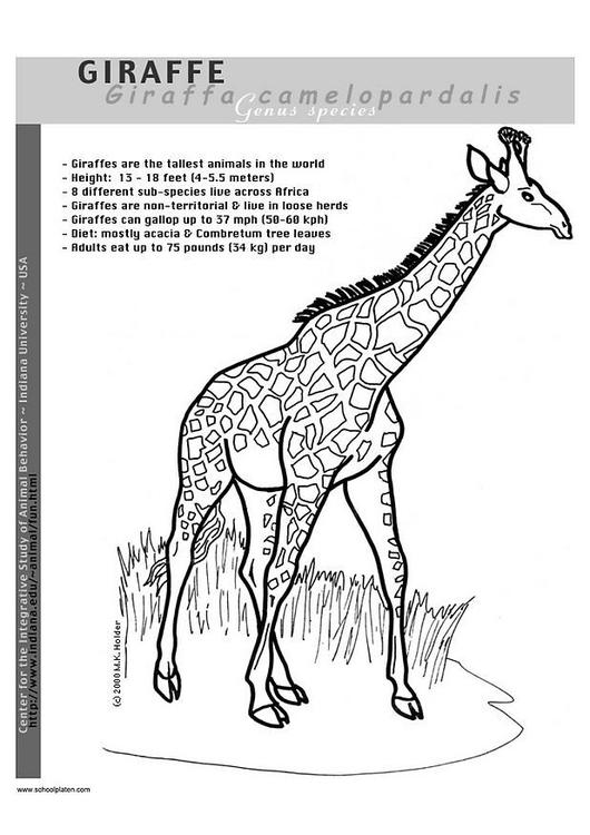 Malvorlage Giraffe - Kostenlose Ausmalbilder Zum Ausdrucken