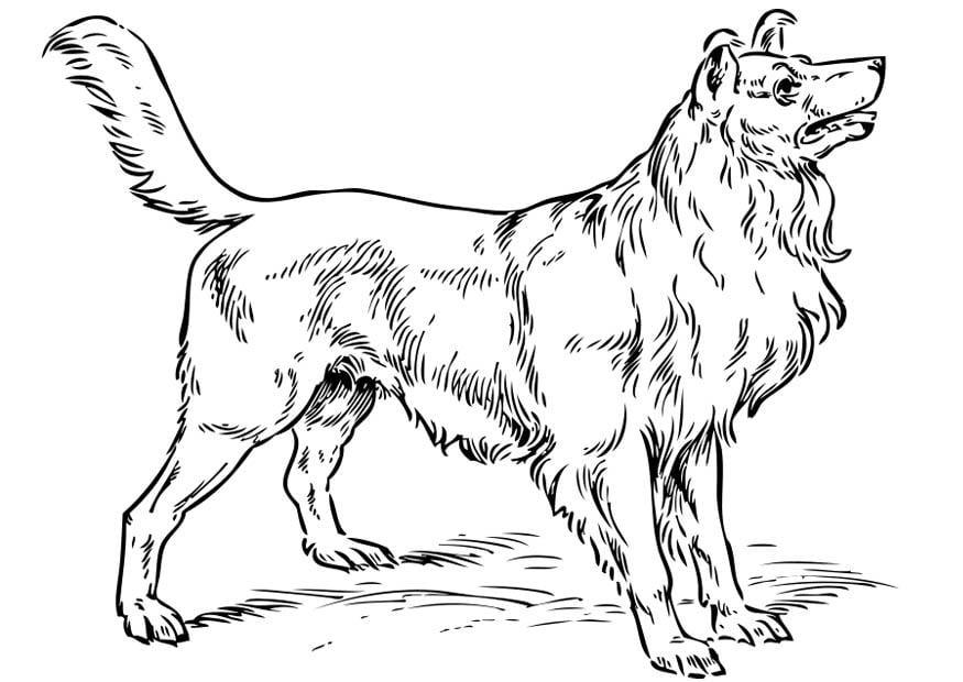 Malvorlage Hund - Collie - Kostenlose Ausmalbilder Zum