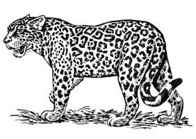 Malvorlage Jaguar   Kostenlose Ausmalbilder Zum Ausdrucken ...