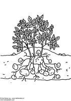 Malvorlage Kartoffelpflanze   Kostenlose Ausmalbilder Zum ...