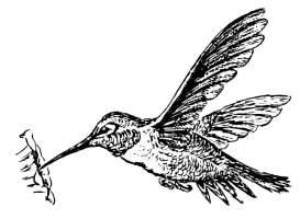 Malvorlage Kolibri   Kostenlose Ausmalbilder Zum ...