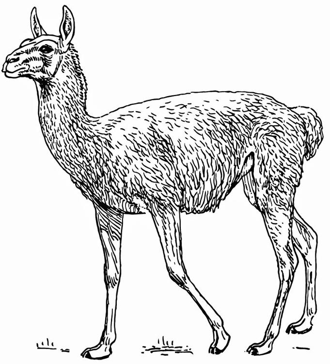 Malvorlage Lama Ausmalbild 15742