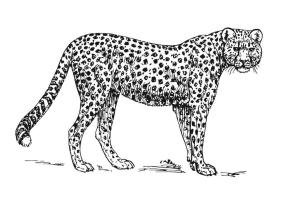 Malvorlage Leopard   Ausmalbild 15727.