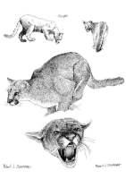 Malvorlage Puma   Kostenlose Ausmalbilder Zum Ausdrucken ...